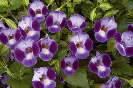 Торения выращивание из семян цветка в домашних условиях