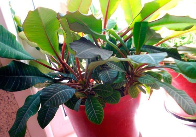 Виды и названия растения молочай (34 фото): описаний эуфорбий прекраснейший и гребенчатый, смолоносный и лозный, колючий и синадениум