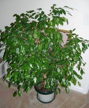 Фикус домашний - фото, уход, размножение, пересадка, обрезка растения
