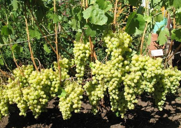 Виноград «лора»: описание сорта, фото и отзывы