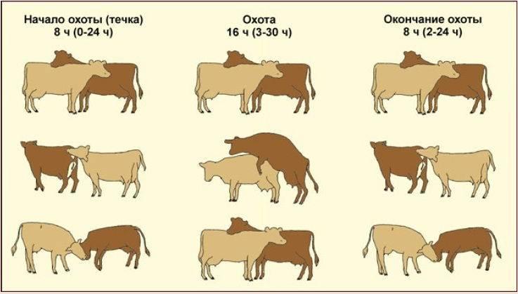 Спаривание коров с быками