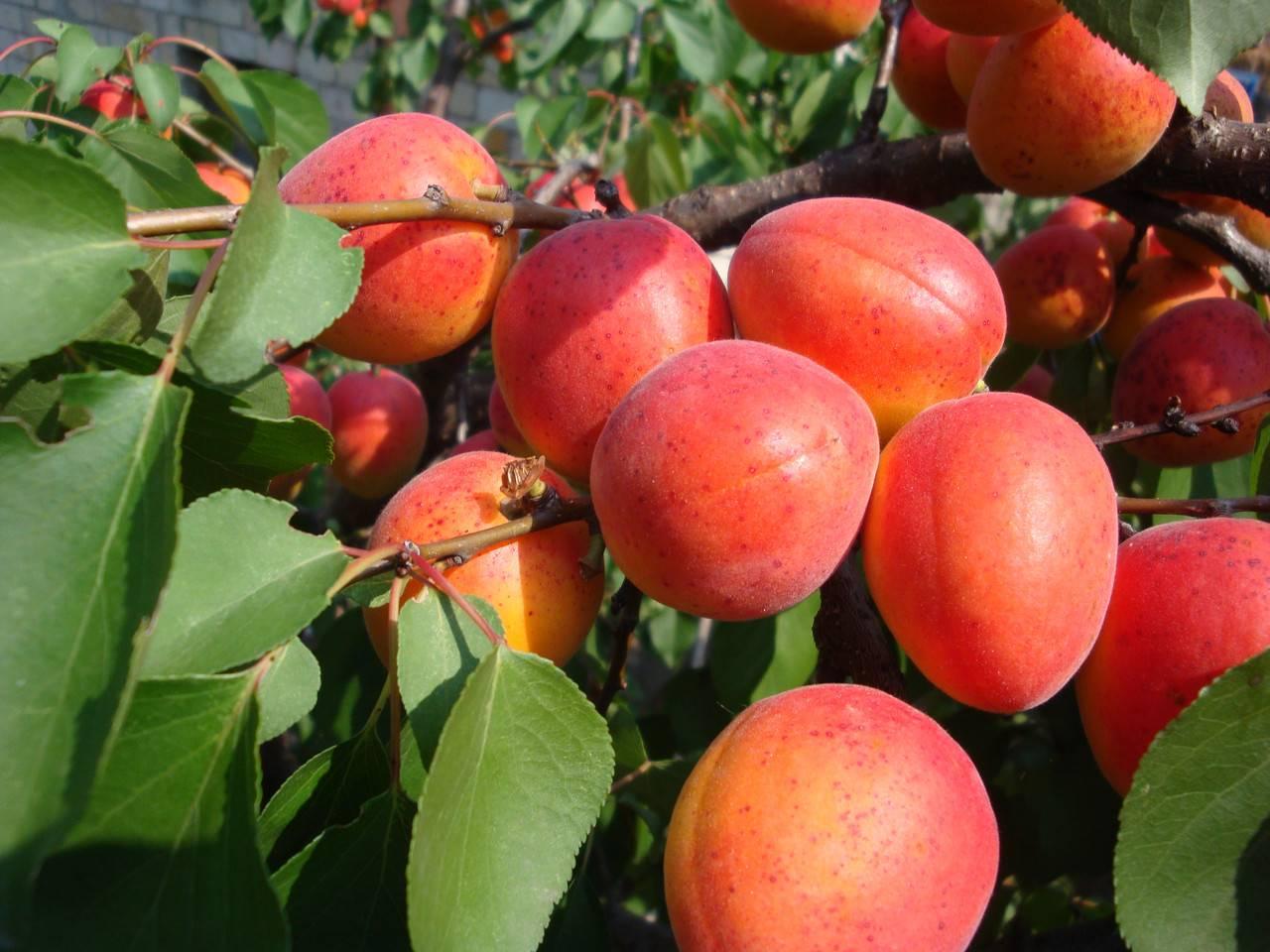 Сорт абрикоса Саратовский рубин — описание и отзывы