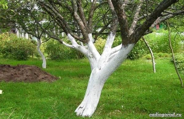 Побелка деревьев осенью: когда и чем белить