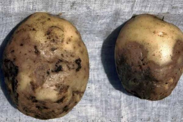 Почему картошка чернеет внутри при хранении - скороспел