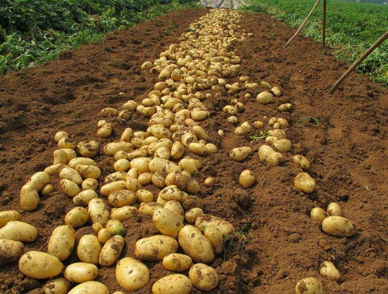 Как прорастить картофель перед посадкой: основные способы и правила – дизайн кафе