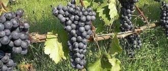 Читать книгу виноград. секреты виноградарей севера и юга россии николая курдюмова : онлайн чтение - страница 10