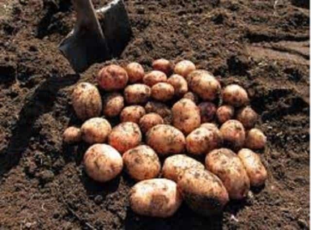 Описание картофеля сынок