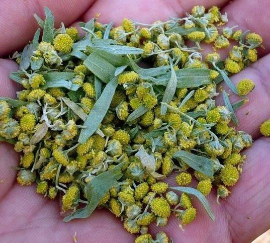 Полынь горькая: лечебные свойства, польза и применение полыни от глистов.