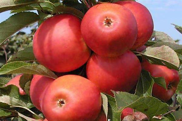 какие сорта яблонь лучше сажать на урале: топ 5 с фото, описаниями, отзывами