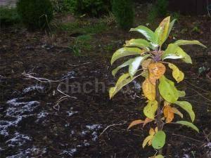 Посадка яблони осенью. как и когда правильно сажать, информация от профессионалов