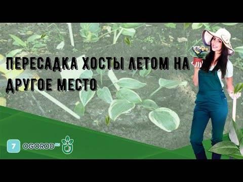 Хосты — выбор места в саду и посадка. фото — ботаничка.ru