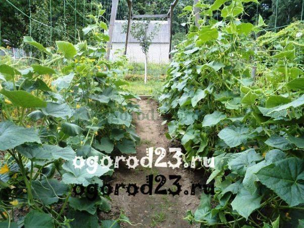 Шпалера для огурцов: выбор и установка простых и удобных конструкций для выращивания огурцов (125 фото + видео)