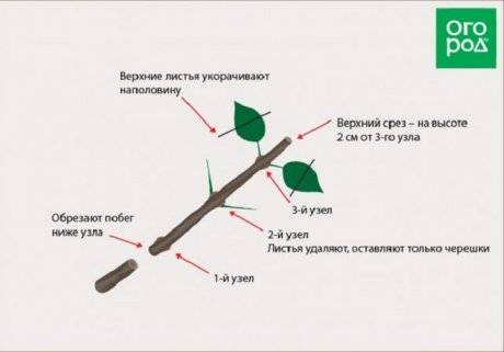 Гортензия размножение черенками, заготовка и укоренение с фото
