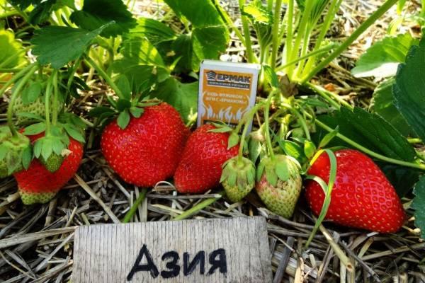 Садовая земляника азия: урожайная «иностранка» на ваших грядках