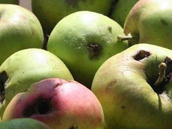 Яблоневая плодожорка: меры борьбы, препараты от плодожорки и самые эффективные методы защиты яблони