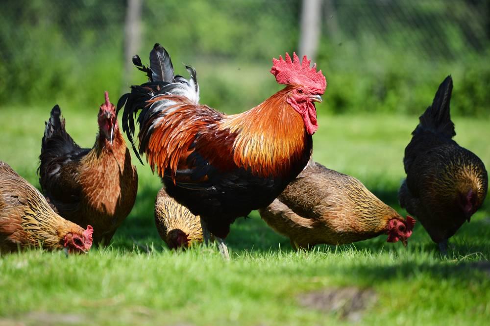 Сколько кур должно приходиться на одного петуха — разведение и содержание кур — животноводство