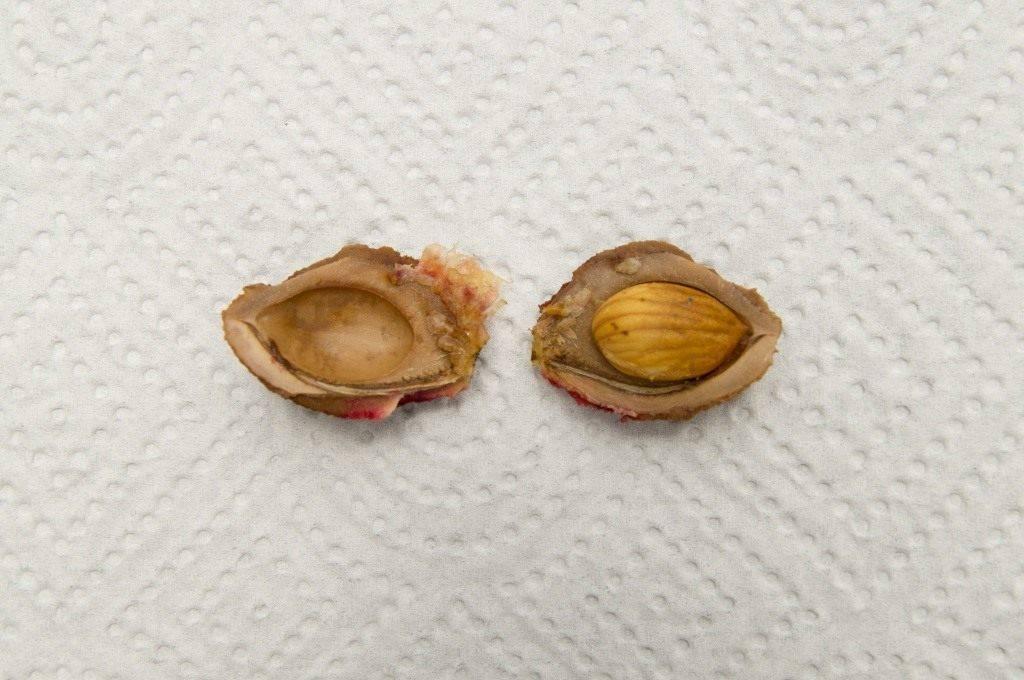 Как вырастить персик из косточки на даче: технология, видео и фото