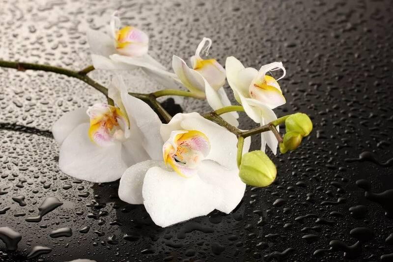 Орхидеи белые: описание, выращивание, уход :: syl.ru