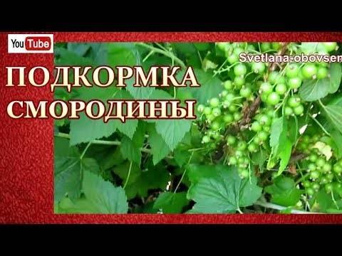 Подкормка смородины весной и осенью для хорошего урожая