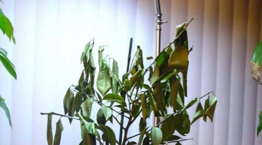 Причины, почему лимон сбрасывает листья и что делать для борьбы с этим