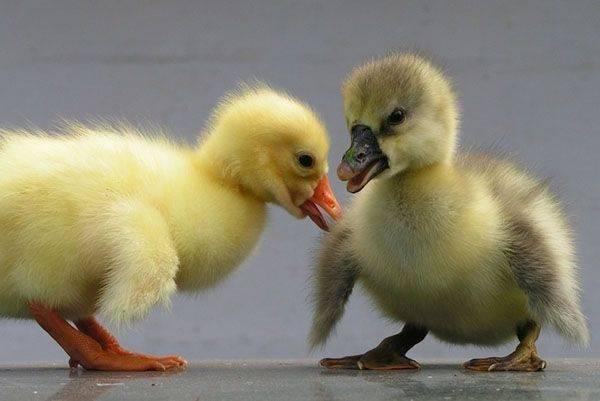 Почему гусята выщипывают перья, клюют друг друга и как им помочь?