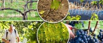 Когда можно открывать виноград после зимы