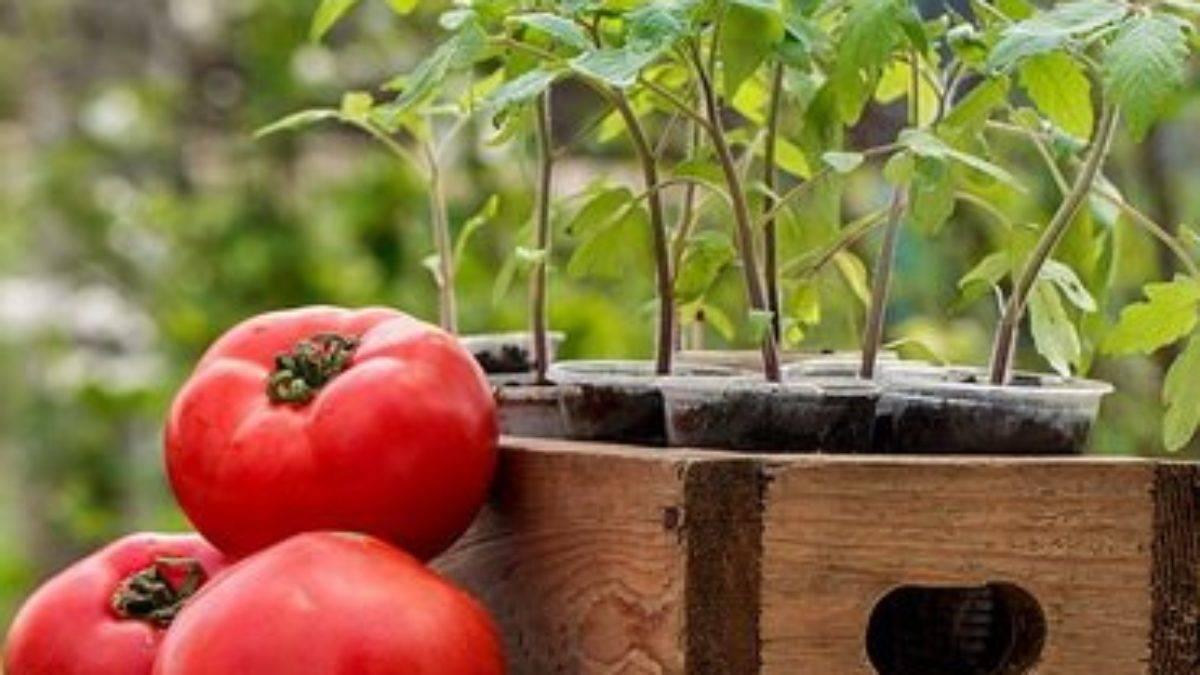Как правильно сажать рассаду помидоров: 2 способа