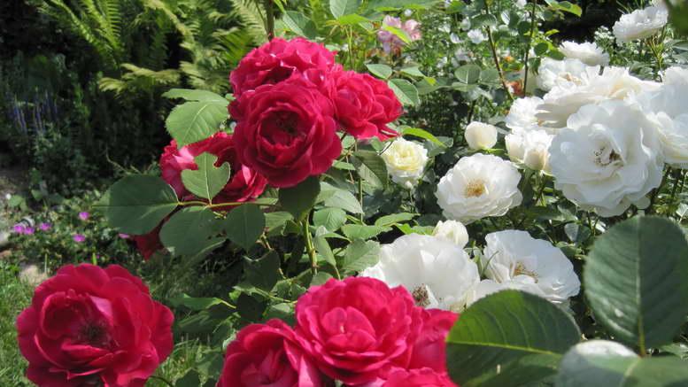 Зеленые розы - сорта, особенности агротехники   о розе