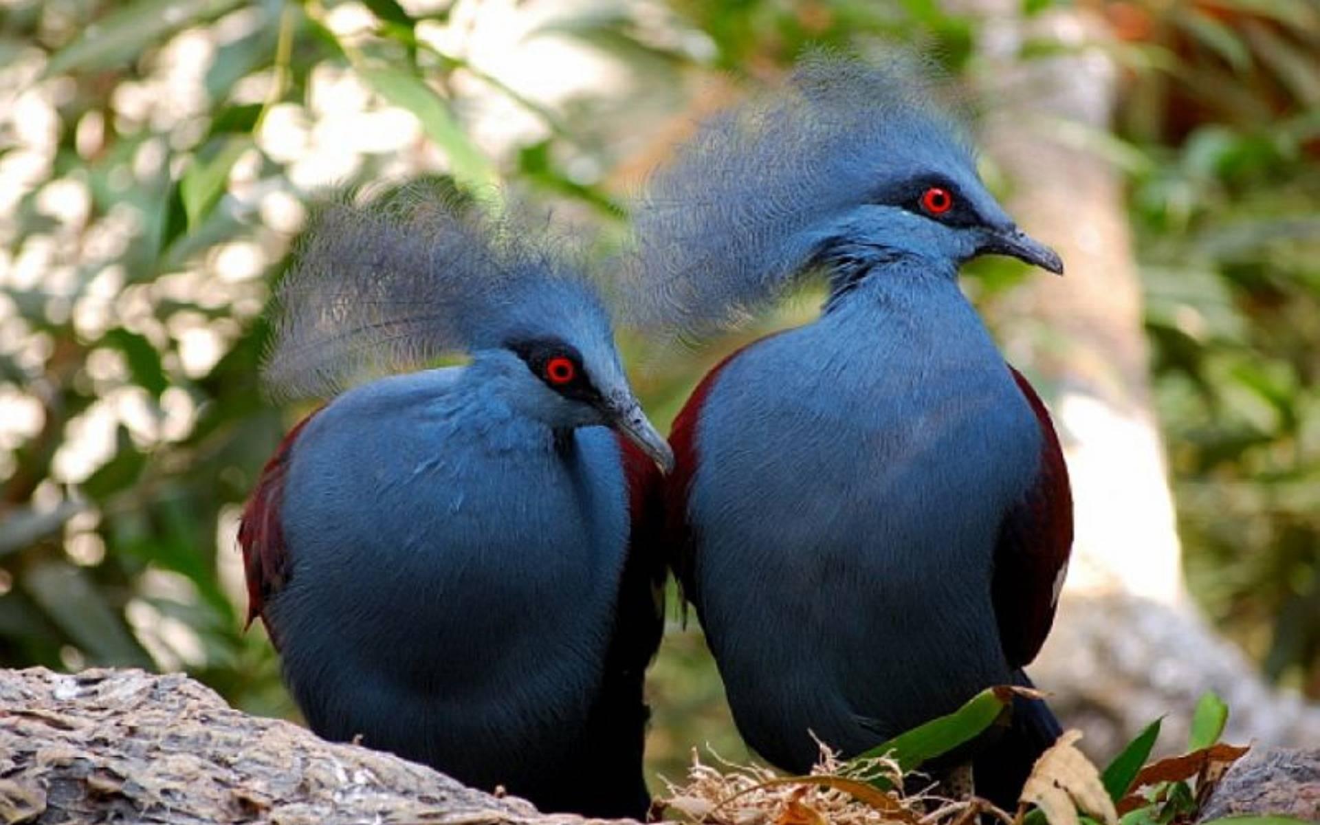 Обзор венценосной породы голубей, их описание и фото обзор венценосной породы голубей, их описание и фото