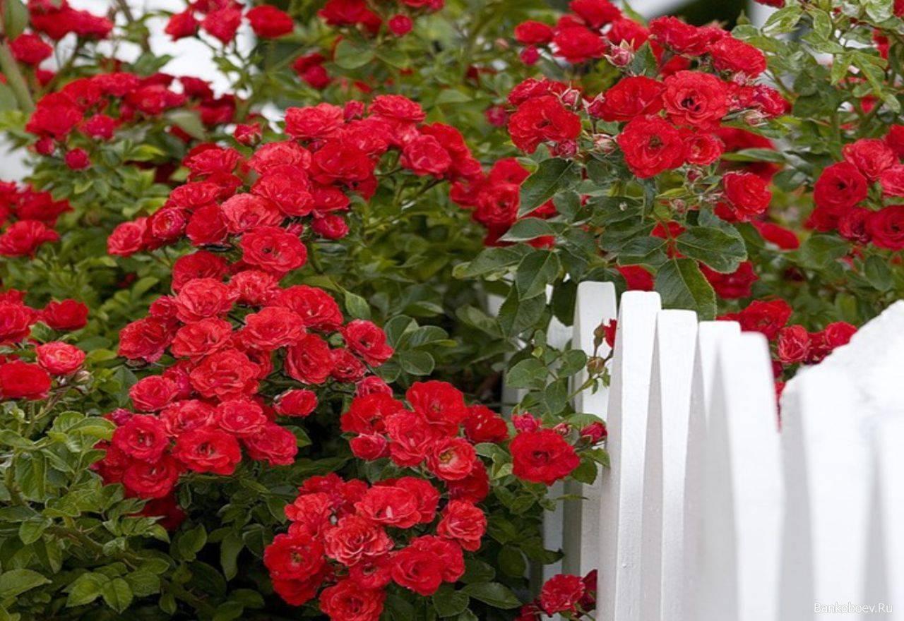 Осенняя обрезка роз по сортам, плюсы и минусы
