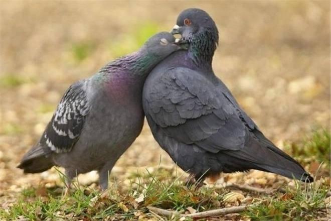 Вертячка у голубей: симптомы болезни ньюкасла, лечение и профилактика