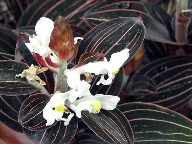 Лудизия - уход за драгоценной орхидеей в домашних условиях