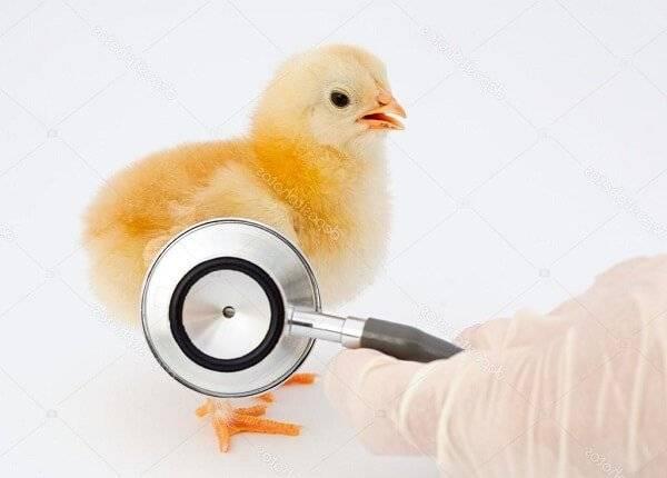 Самые частые болезни кур, их симптомы и лечение. фото больных птиц