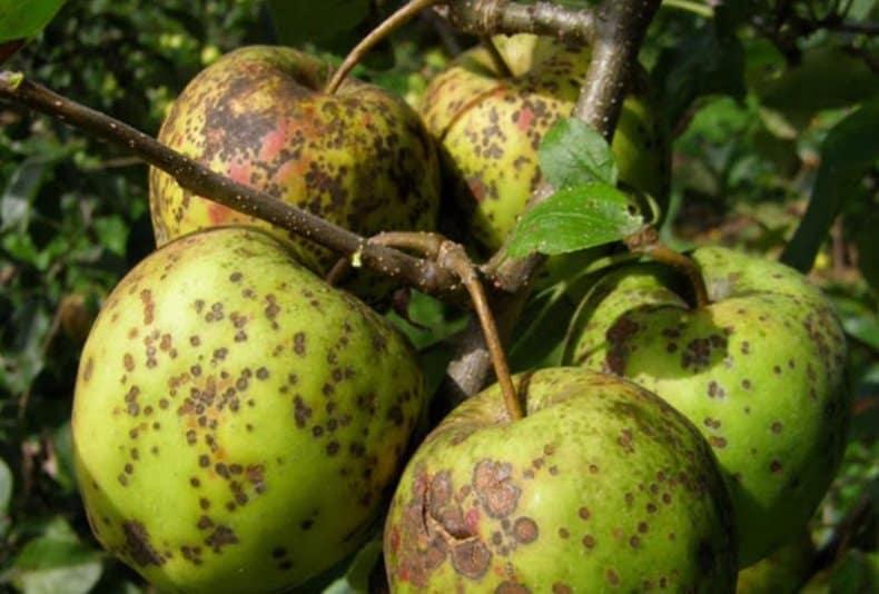Парша! что делать, чтобы сохранить яблоню или даже яблоневый сад?