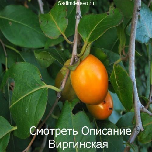 """Хурма """"виргинская"""": описание сорта, фото, отзывы"""