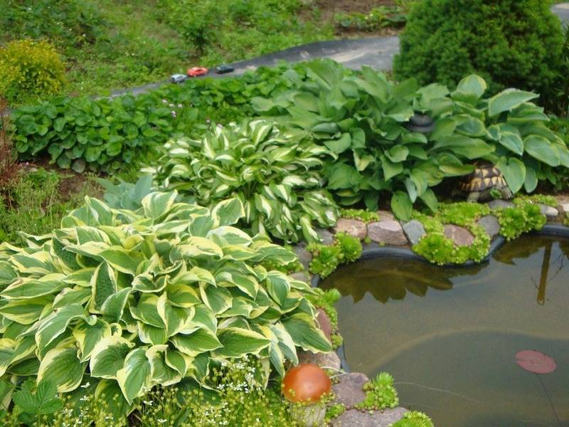 Водные растения для садового пруда, фото   сажаем сад