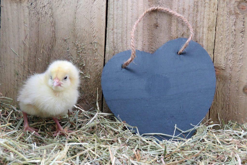Кормление цыплят от а до я