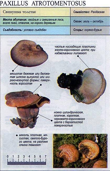 Грибы толстушки как готовить солить. соление грибов (засолка грибов холодным, горячим, сухим способом). хранение засоленных грибов