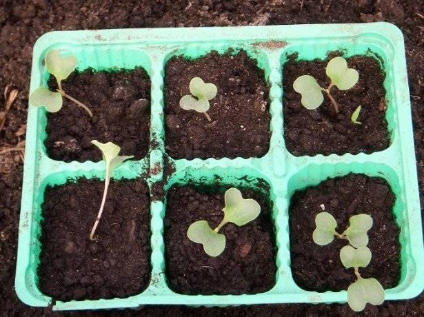 Как и когда сажать декоративную капусту на рассаду в домашних условиях