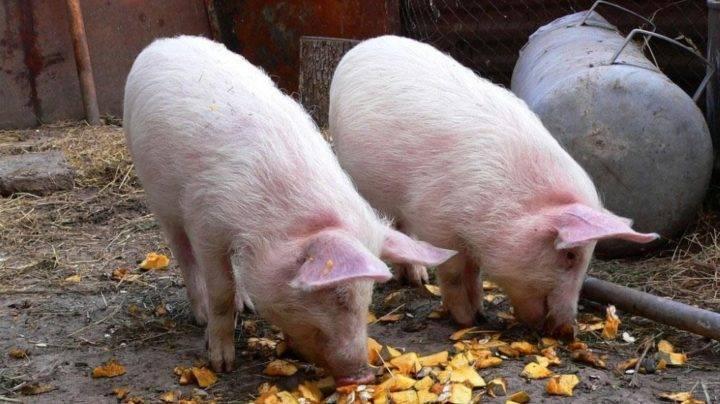 Откорм поросят на мясо в домашних условиях: что давать, чтобы быстро росли