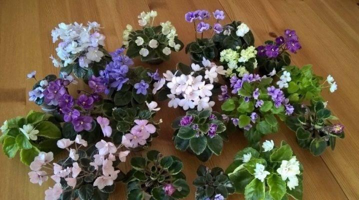 Как сажать семена фиалок, когда и как правильно их посеять дома и через сколько они всходят: всё о выращивании виолы