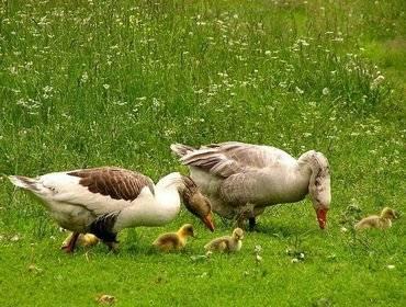 Кормление гусей для разведения и на мясо