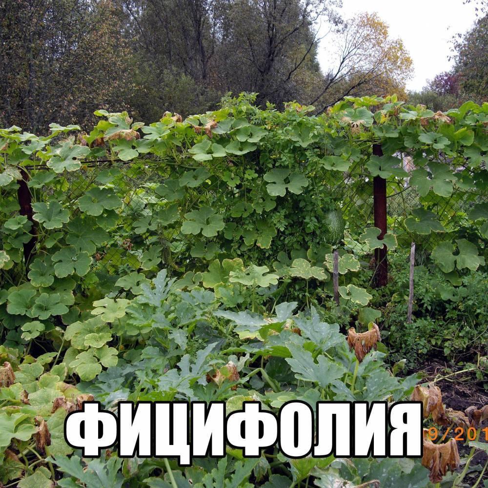 Удивительная фицефалия: как вырастить экзотическую тыкву в ленинградской области