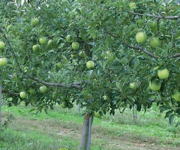 Посадка и секреты выращивания яблони сорта семеренко