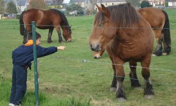 Арденская порода лошадей: описание и фото