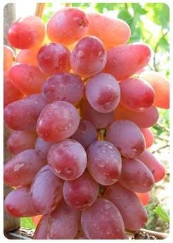 Выращиваем крупный и сладкий виноград на дачном участке