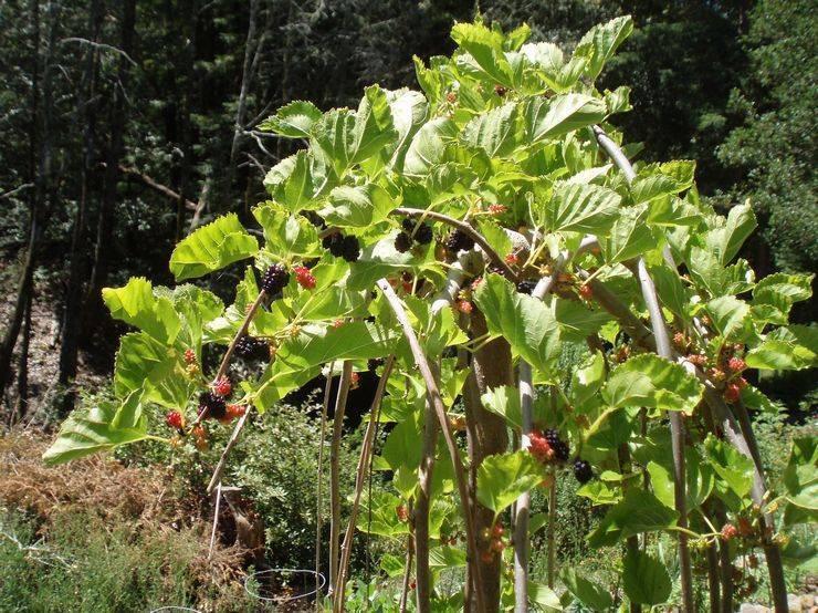 Шелковица: выращивание, уход, посадка и обрезка