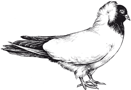 Голуби монахи: описание и характеристика птиц, в чём отличия от других видов, выращивание и уход, фото