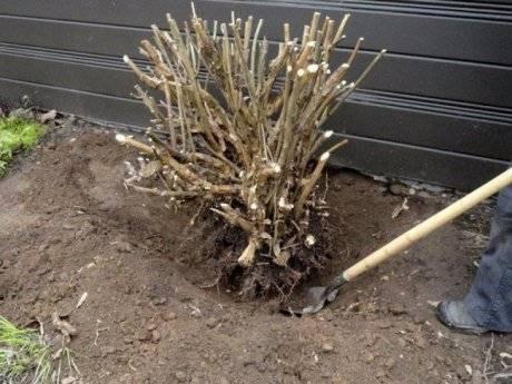 Как посадить гортензию осенью черенками, когда лучше сажать цветок