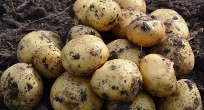 Картофель «каратоп» — урожайный, ранний, вкусный